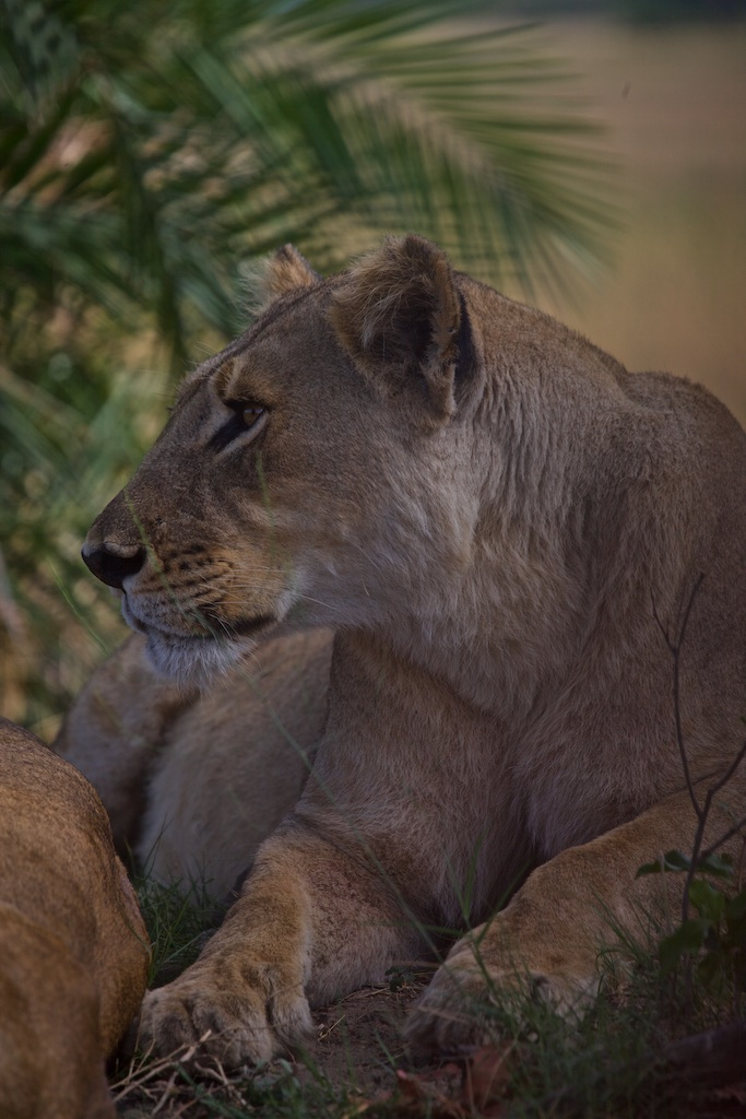 Lioness sensing a dinner opportunity