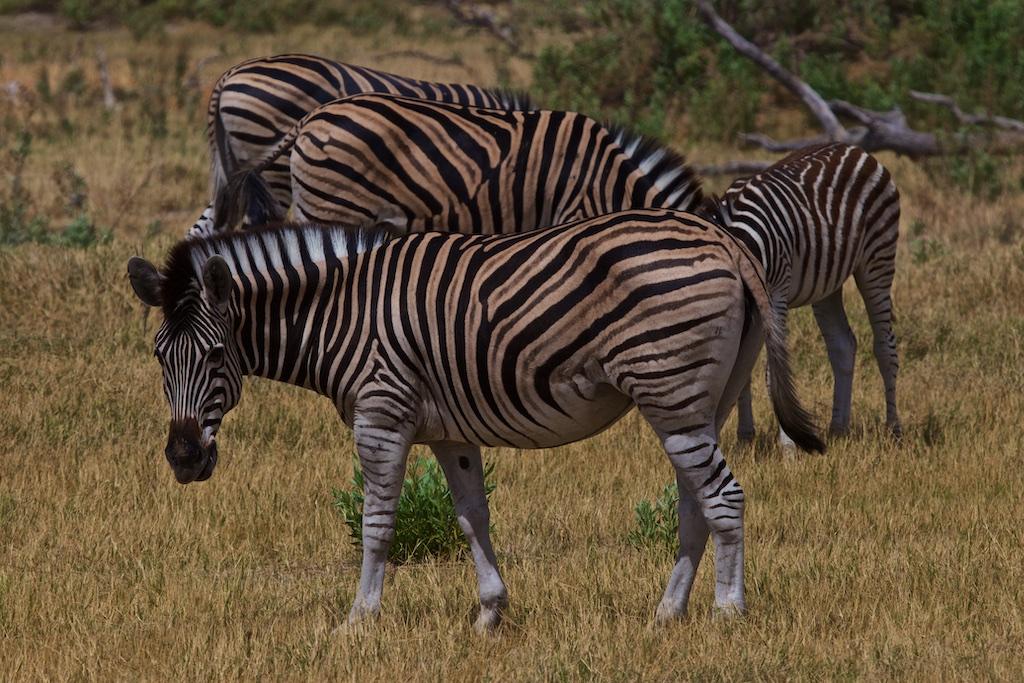 Golden zebras, Botswana