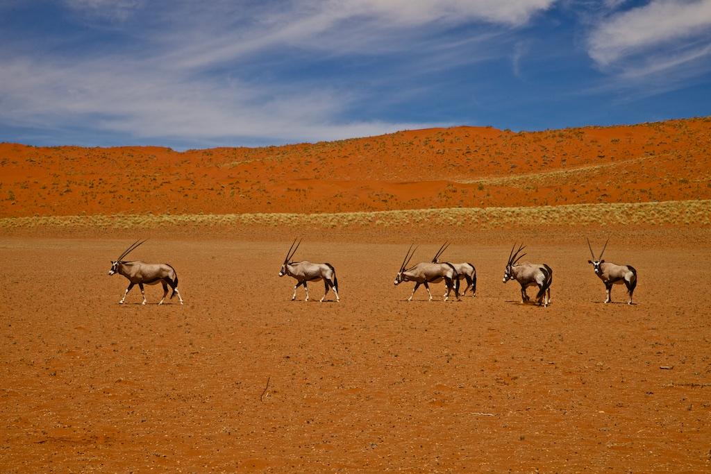 Oryx antelopes crossing the Namib desert