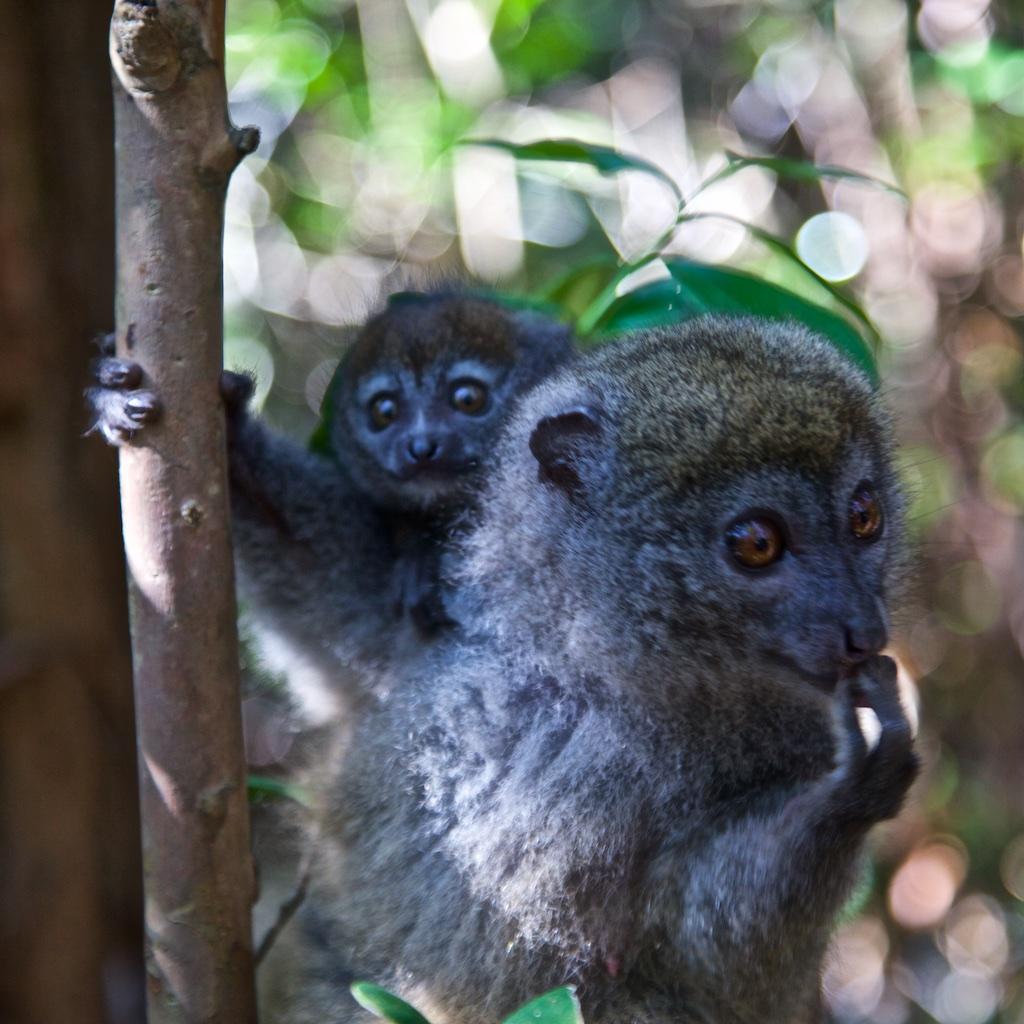 Lemurs caught by surprise