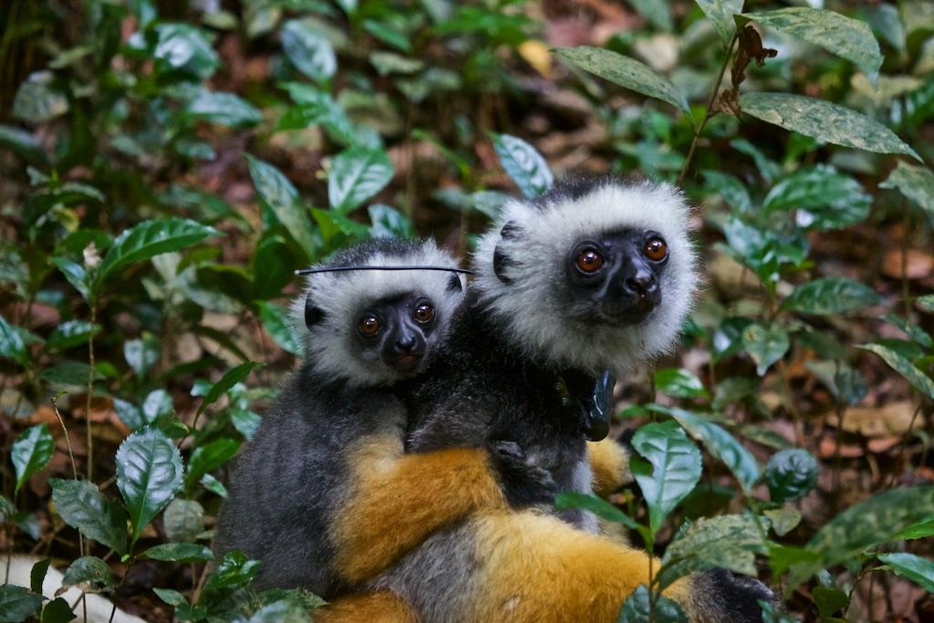 Lemur family, Madagascar