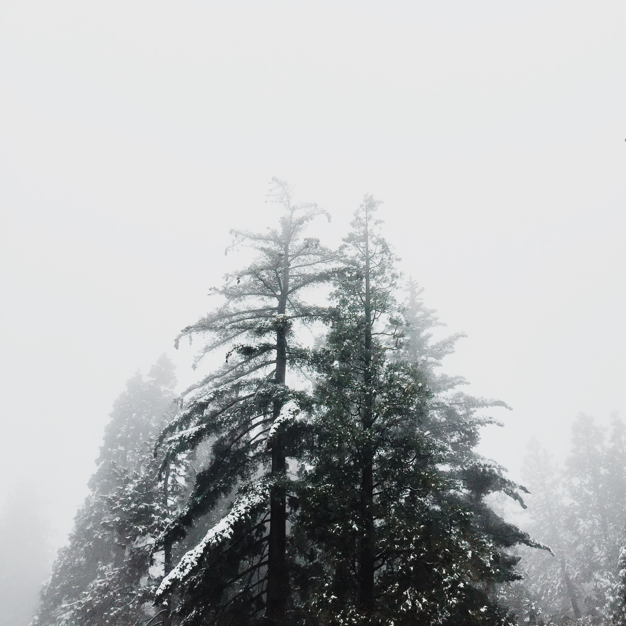 Snowy pine trees | Katch Silva