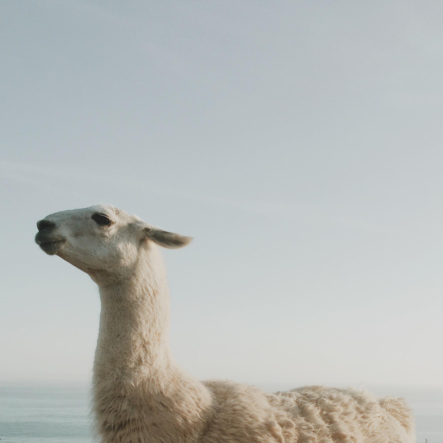 Animal portrait llama | Katch Silva