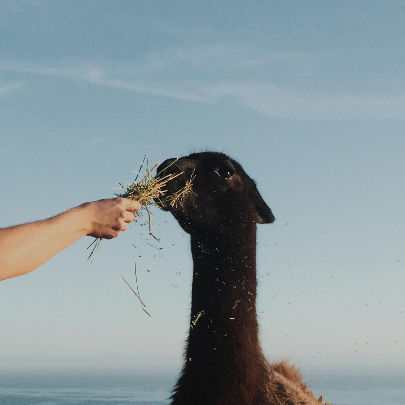 Llama portrait | Katch Silva