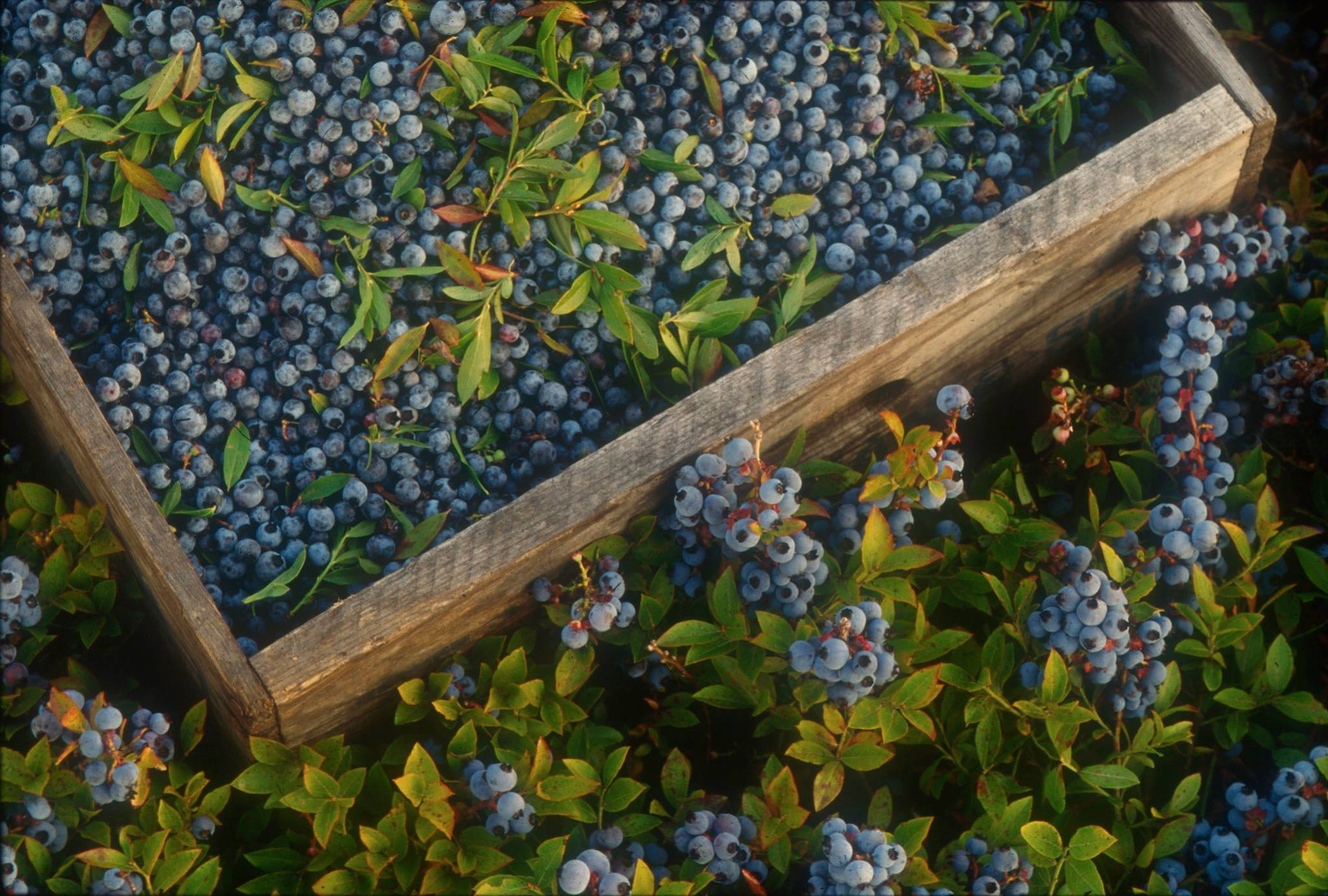Maine Wild Blueberries just picked.jpg
