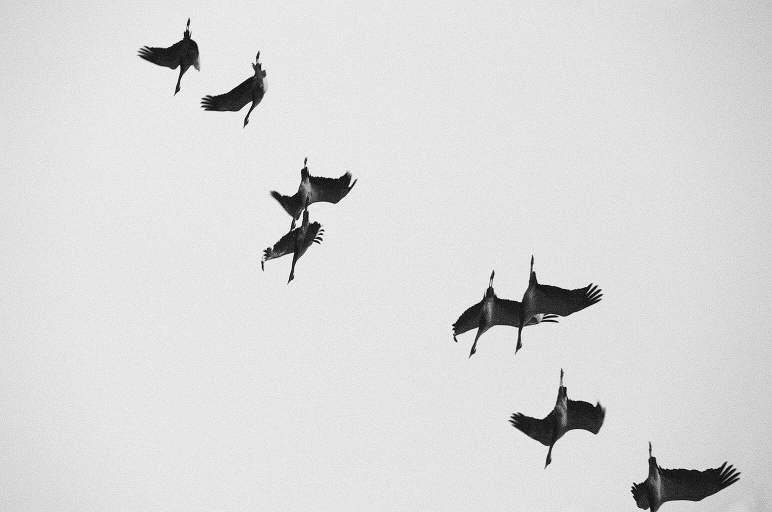 Saibarian_birds_FLYIN_FLOW_B&W.JPG
