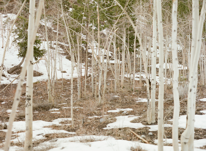 aspen trees and snow