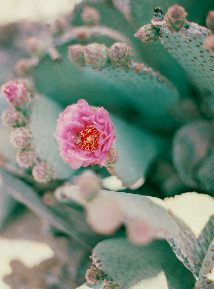 prickly pear cactus with pink flowers and bee