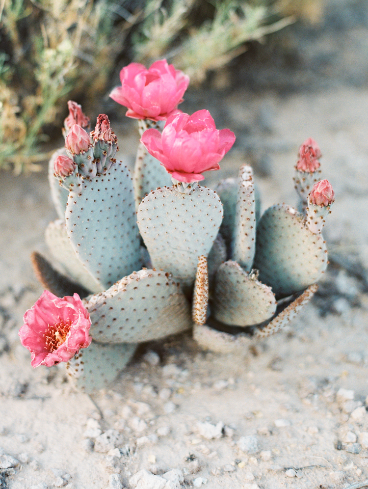 desert beavertail cactus pink flower