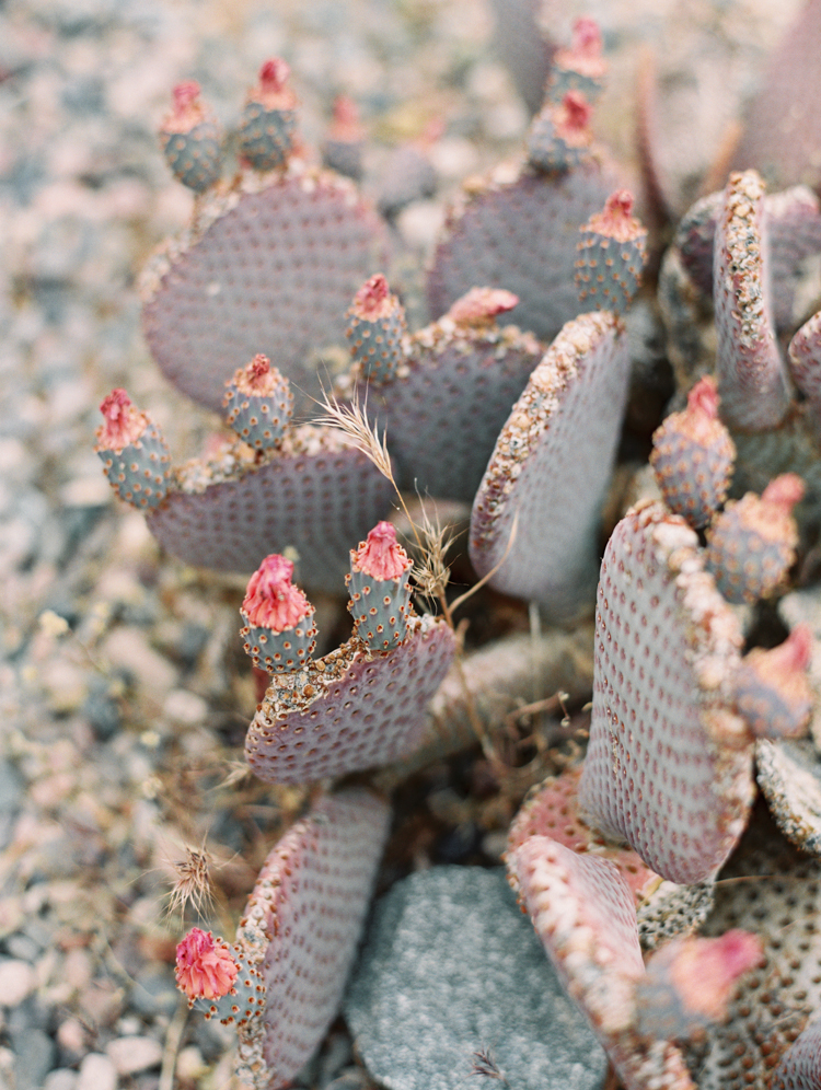 pink purple beavertail cactus in bloom