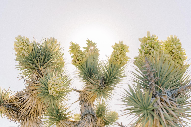 joshua trees in las vegas