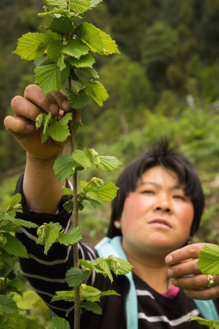 Now a champion for hazelnut farming in her village, Ngawang has worked tirelessly to build a better life for her family. When she heard about the opportunity to grow hazelnuts, she knew she had to give it a try. She tended her trees diligently, and became a community-based representative for her community.  More...
