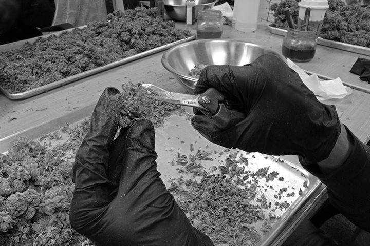 hand trimming cannabis in denver colorado