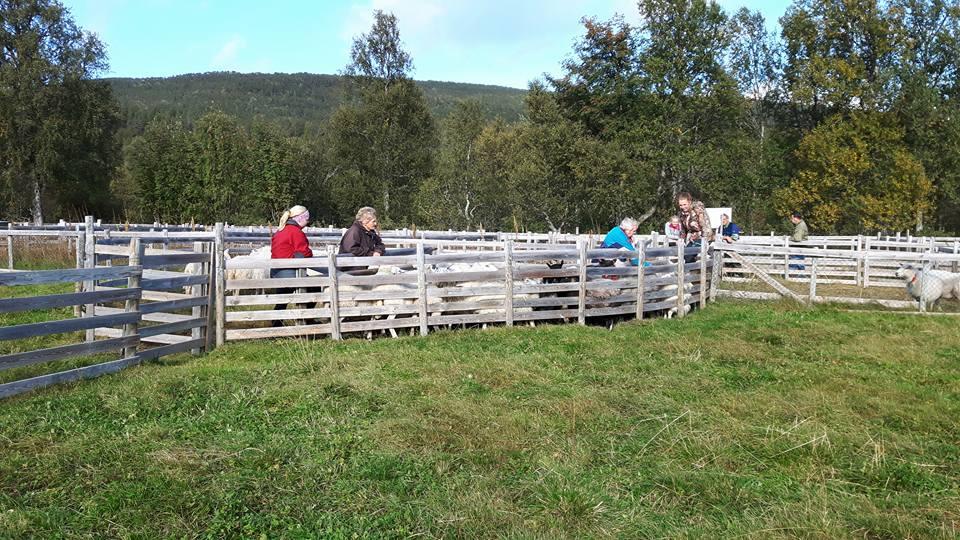 Her begynner agronomelelvene å få alle sauene samlet, før transport tilbake til Skjetlein.