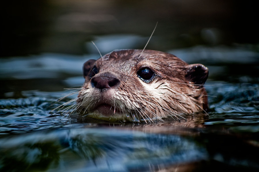 river_otters_7_by_charleswb.jpg