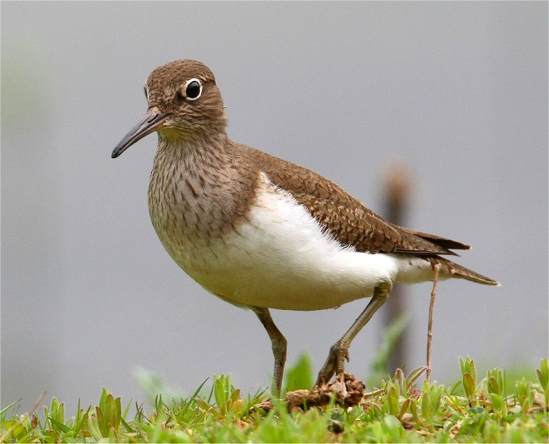 Common Sandpiper VP 24 4 07 bguides IMG_3648.jpg