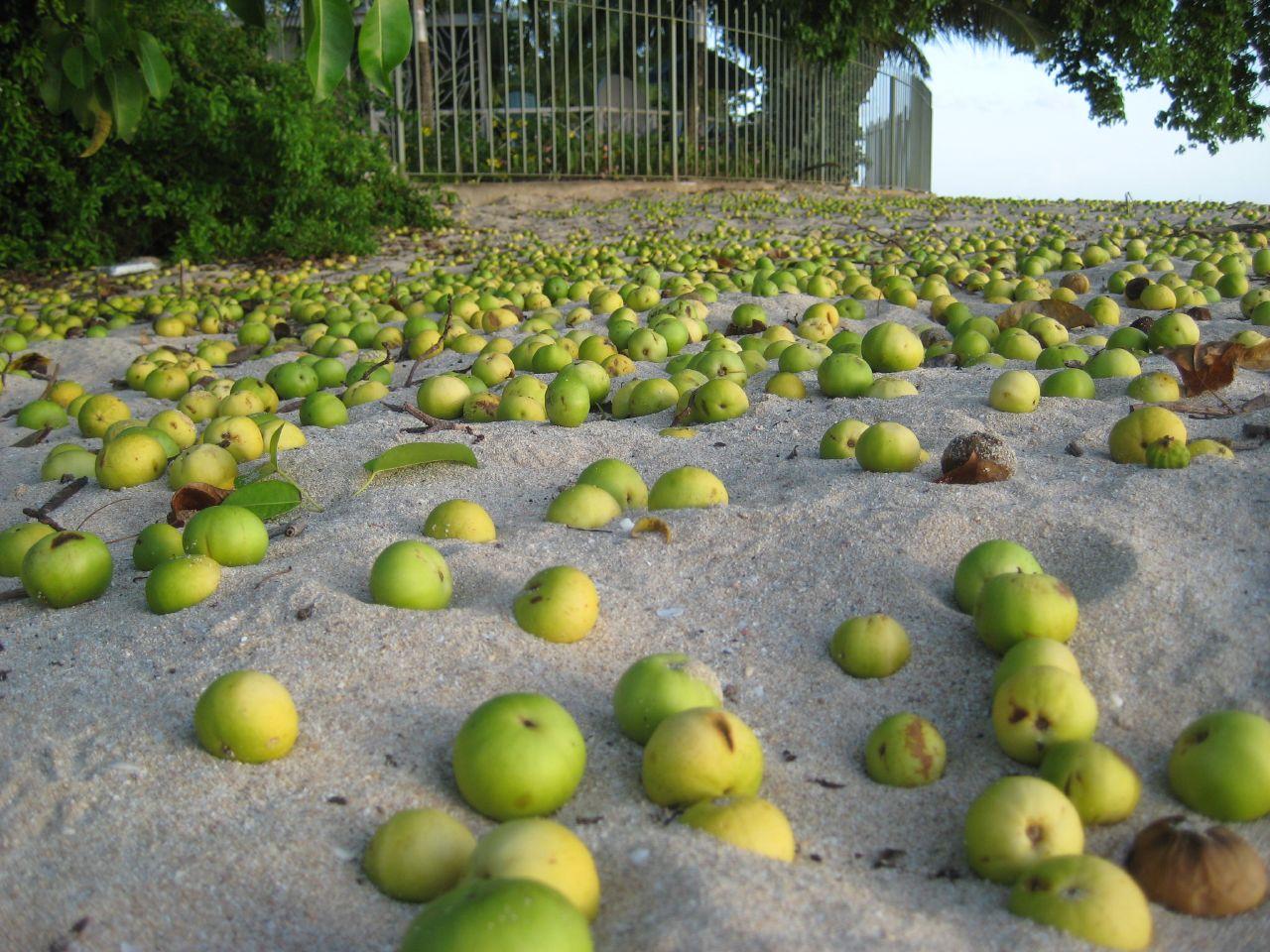 Manchineel fruits