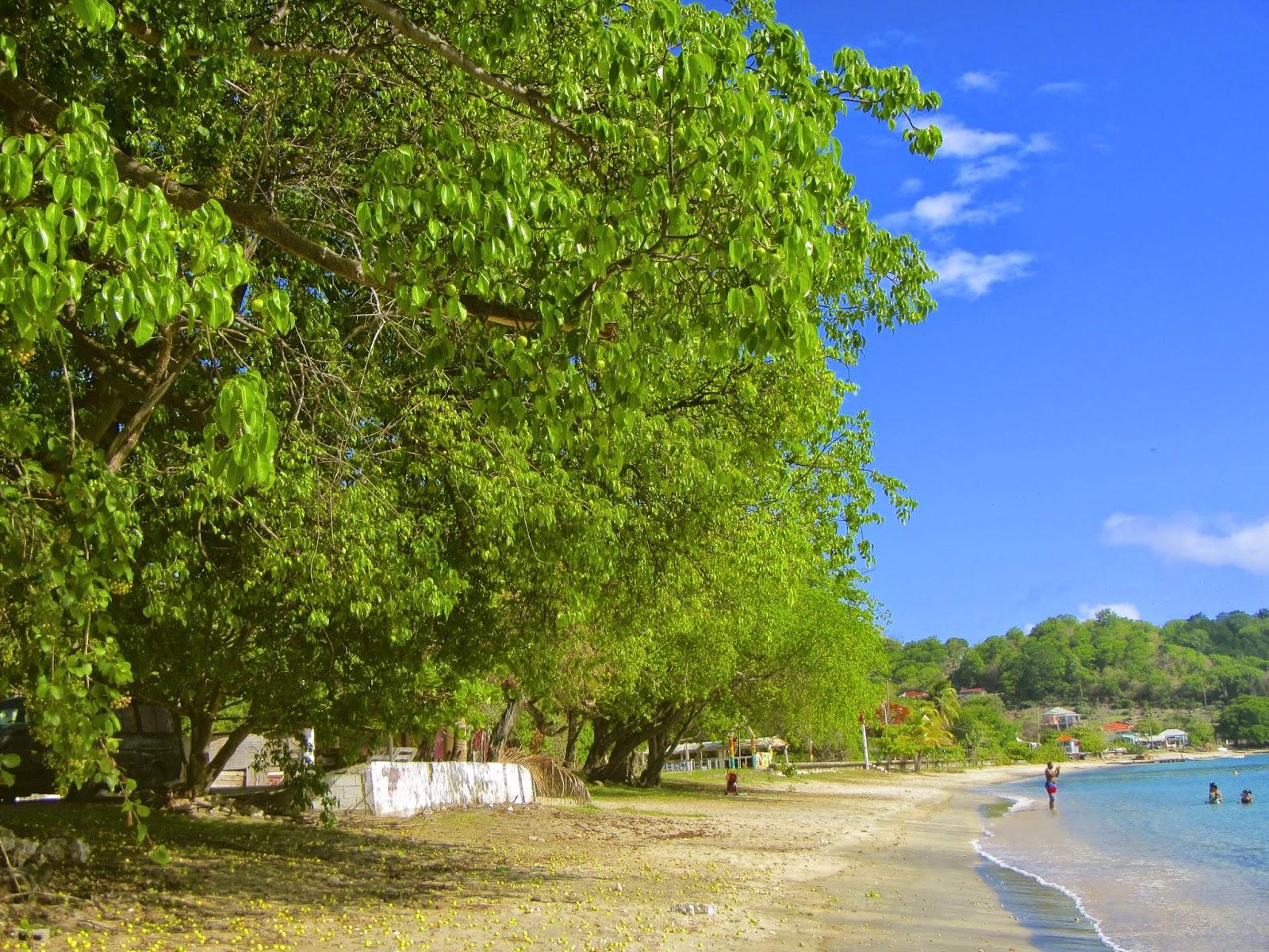 Manchineel trees