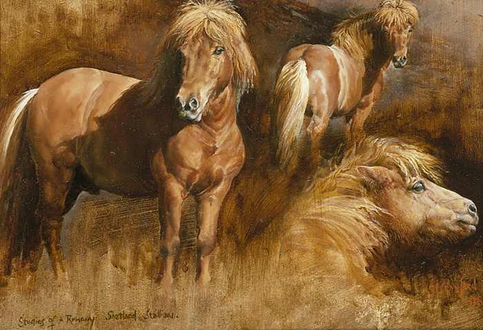 Studies of Shetland Pony Stallion