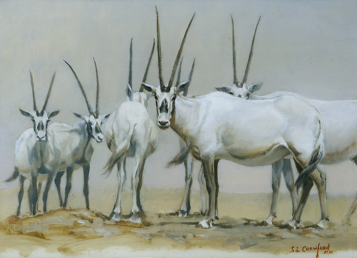 Group of Omani Oryx