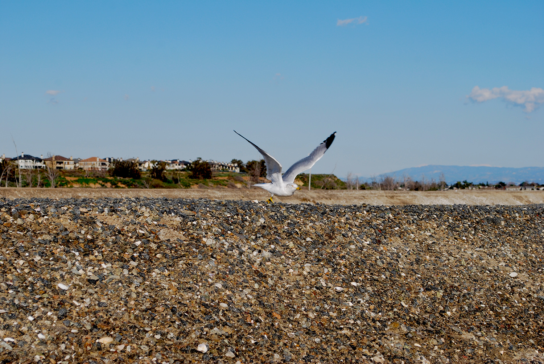 Bolsa Chica gull in flight.JPG