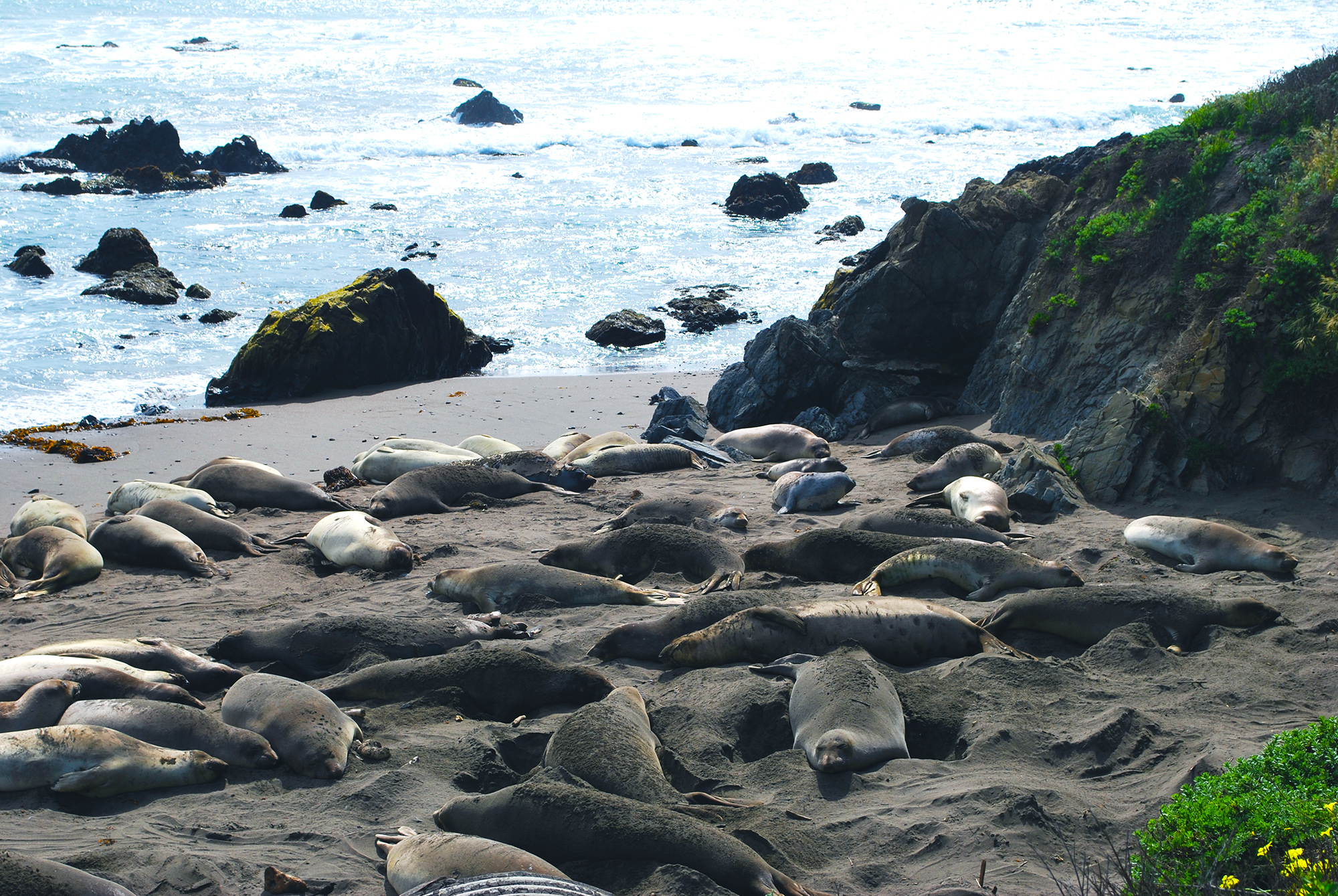 Elephant seals sunbathing.JPG