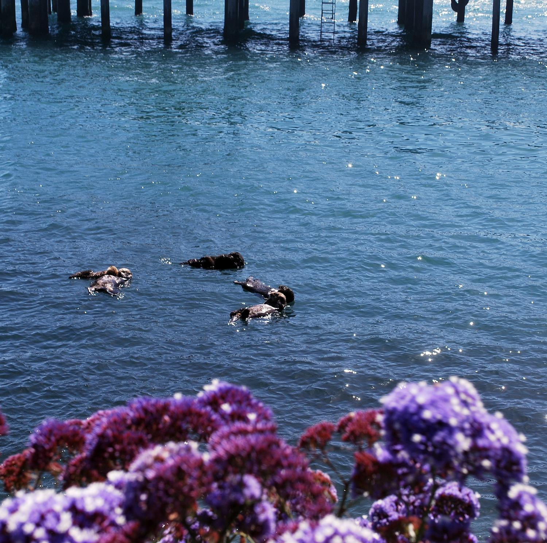 Morro Bay pier sea otters.JPG
