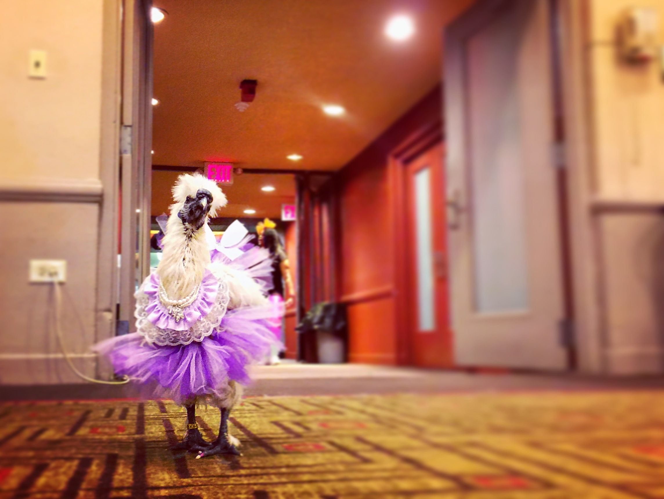 What's the big deal? It's just a chicken named Lady Gaga wearing a purple and lace dress.