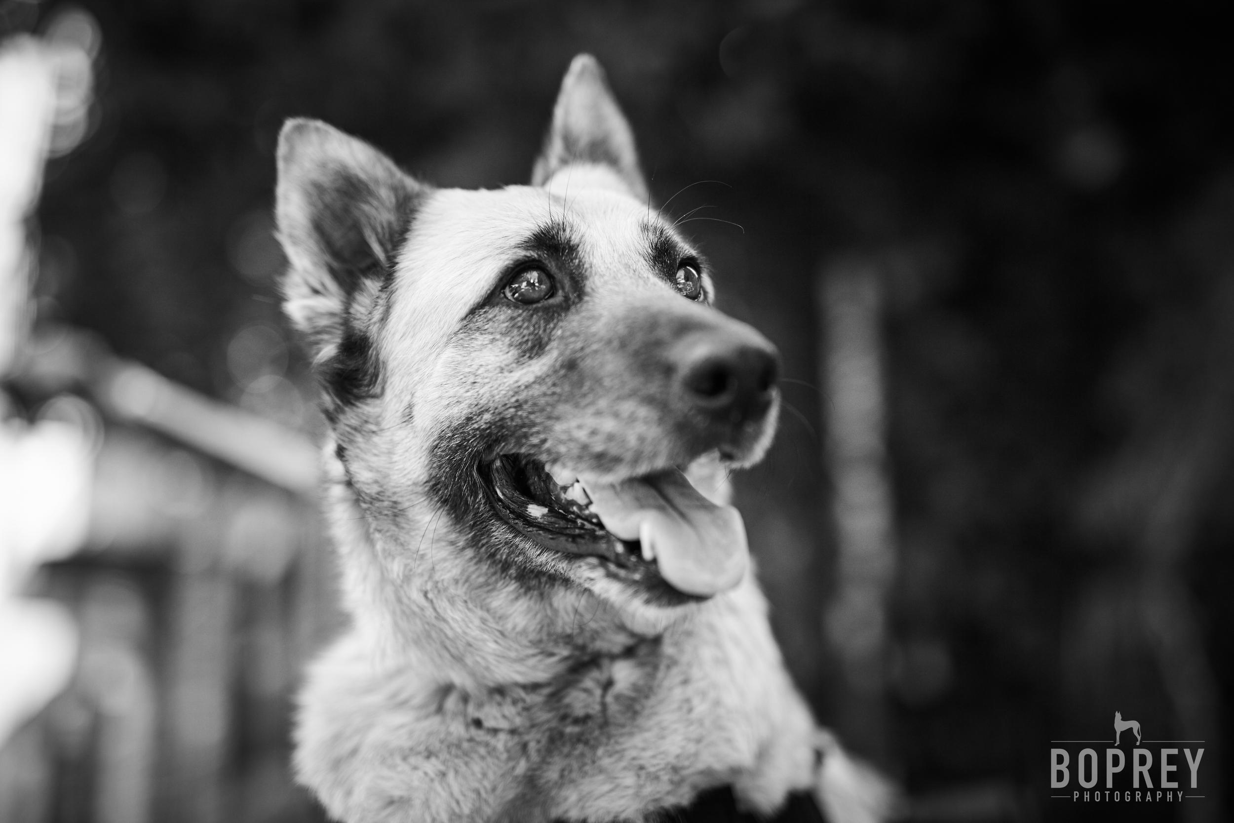 smiling-german-shepherd-pet-photographer-nyc-boprey
