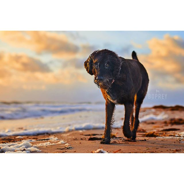 Morning Sun rising over a coastal #Labradoodle named Dakota. 🐕⛱ #sunrise #morning #beach #beachdog #labradoodlesofinstagram #verobeach #florida #eastcoast #dakota #bopreyphoto #nyc #petphotography #dogphotography #photographer #instadog #seniordog #seafoam #goldenhour #LOIprofilepic