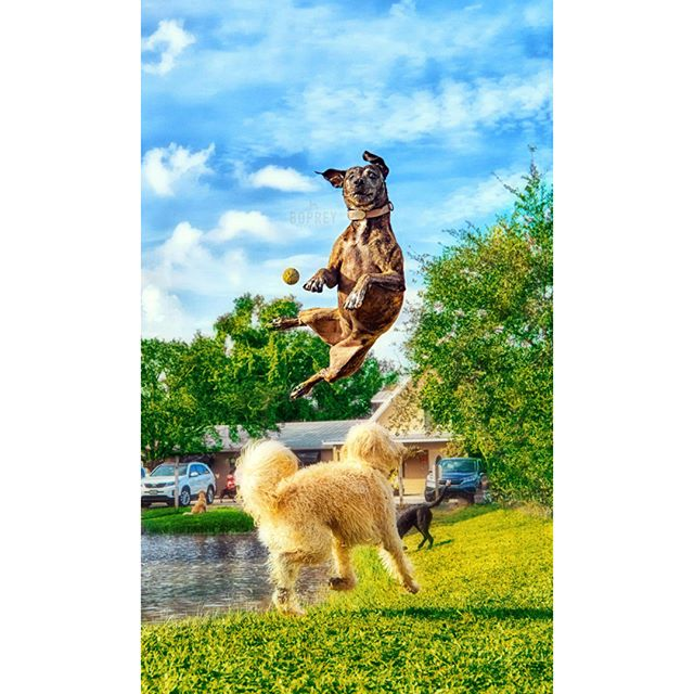 Sometimes life throws you curveballs. 🐕🎾 #curveball #hound #pittie #pittbullsofinstagram #bullybreed #jump #verobeach #photographer #nyc #lifelessons #bluesky #pawprints #bopreyphoto #cherishedmemories #athleticdog #dogswhofly