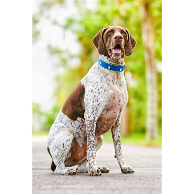 "German Shorthaired Pointer people call their aristocratic companions the ""perfect pointer."" 🐕 #gsp #germanshorthairedpointer #friendly #smartdog #akc #noble #energetic #purebred #instadog #instapuppy #cutedog #pointerlovers #gundog #gspcommunity"