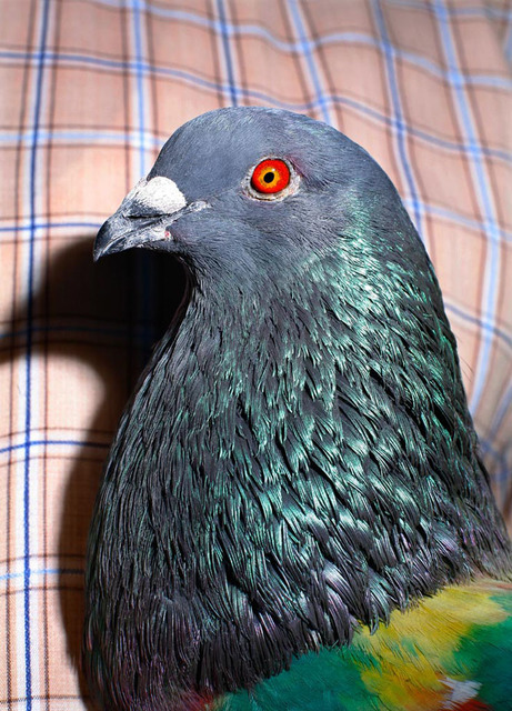 """""""Pigeon"""" from the series Paloma al aire, 2011"""