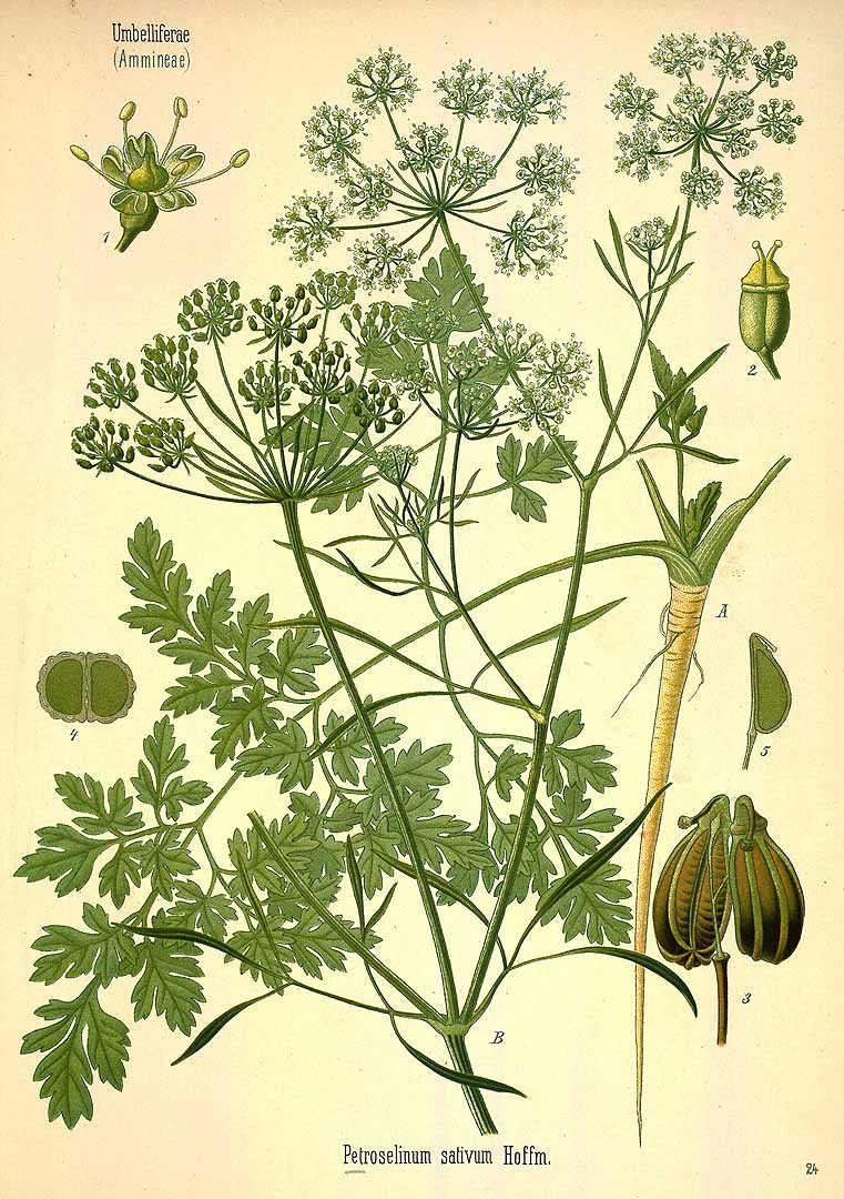 Parsley illustration from Köhler's Medicinal Plants, 1890. (image via PD Art)