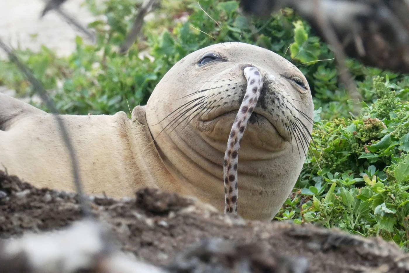 "I've had this image stuck in my head all week. I'm sorry. ""A teenage Hawaiian Monk seal executes the Eel Challenge.""(Photo: NOAA Fisheries/Brittany Dolan via nymag)"