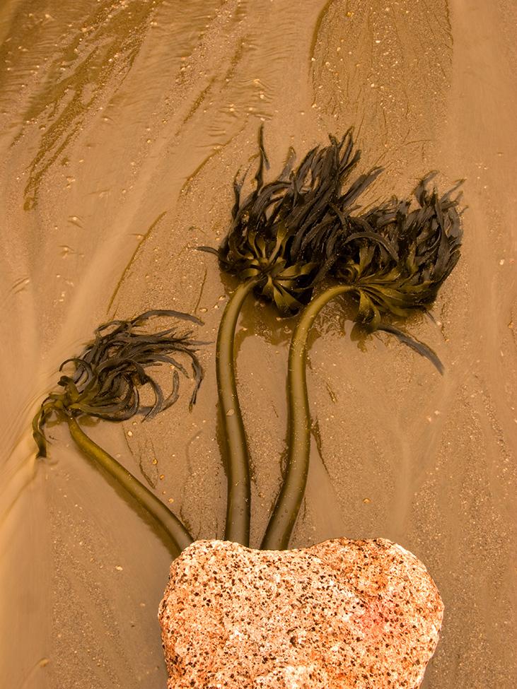 Kelp Tree