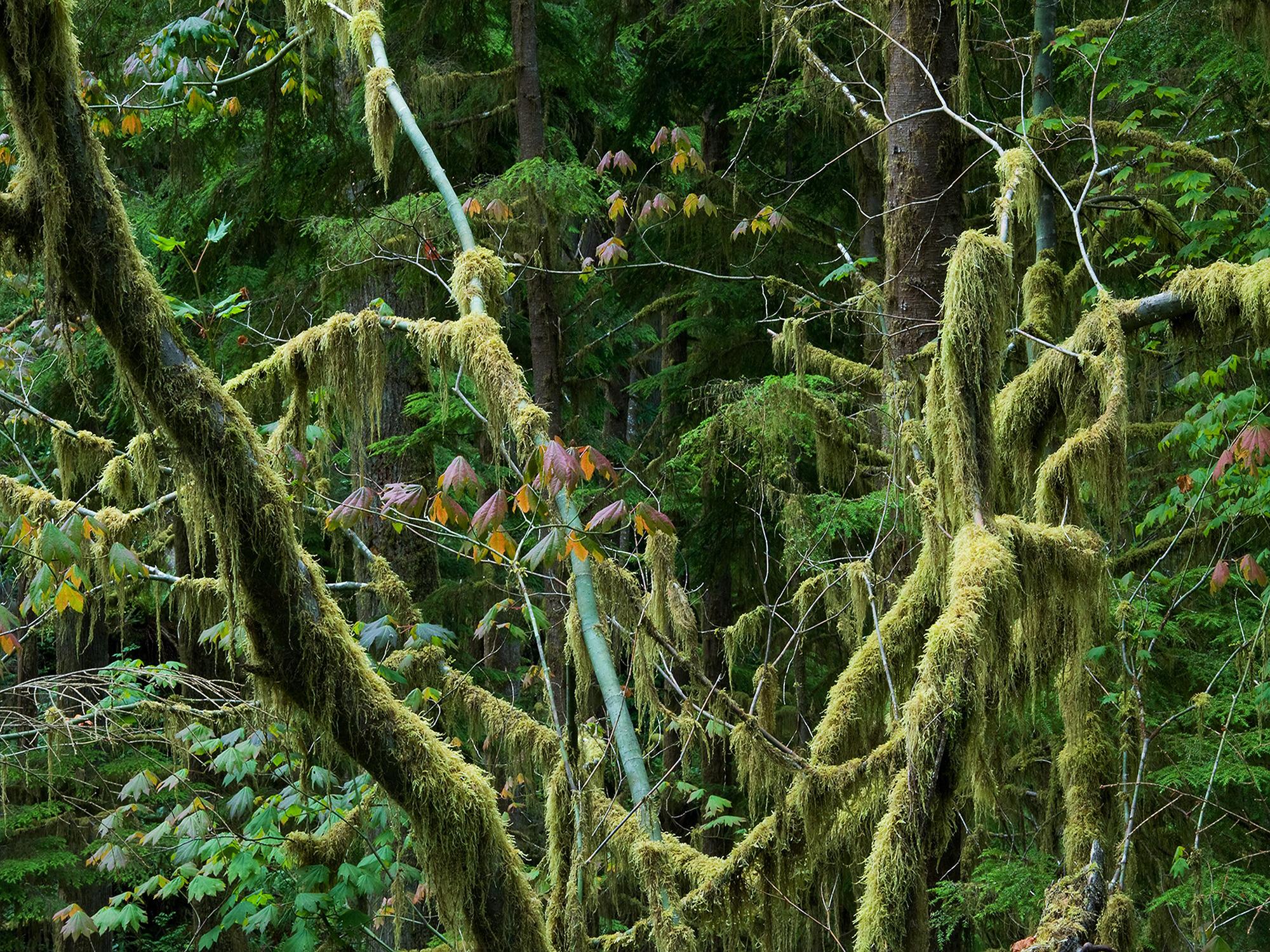Quinault Rain Forest No. 2