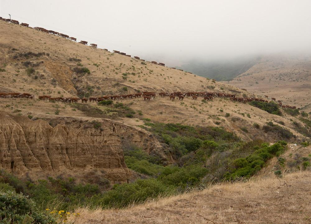 Big Sur Cattle Drive
