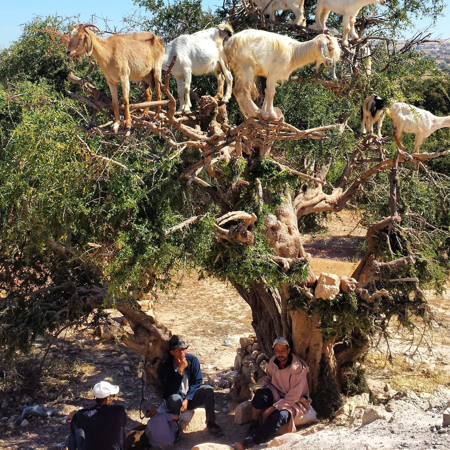 These Moroccan goats climbed the Argan tree. It never occurred to them not to.
