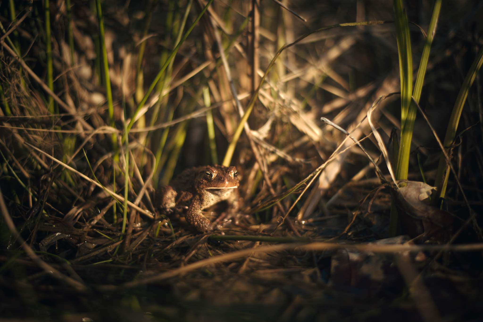 A male American Toad sits by the pond in the spring making mating calls.