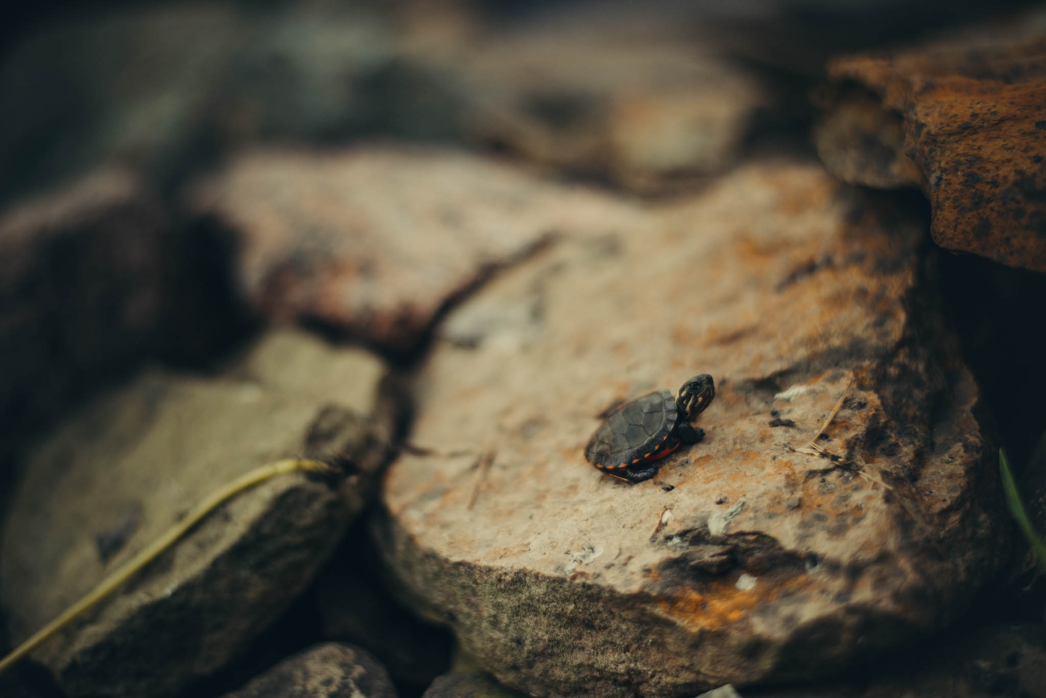Eastern painted turtle hatchling basking on some rocks near water.