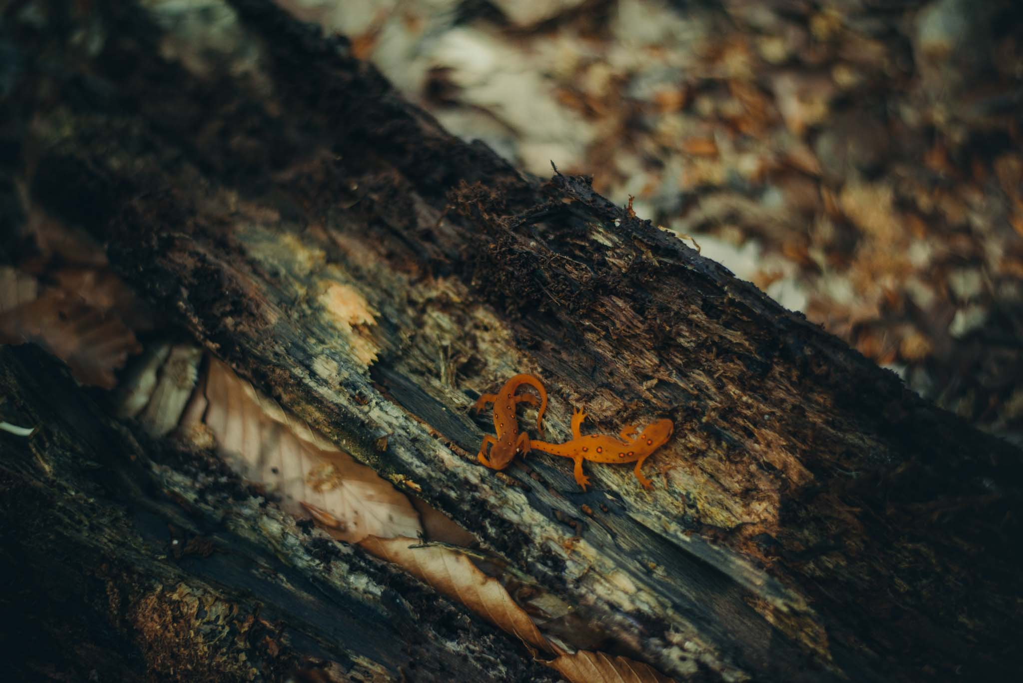 Two Red-eft (terrestrial juvenile stage) of the Red-spotted Newt found under a damp log.