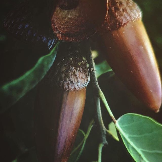"Repost from @trumaebelle ❤️ ""These are the seeds of the oak tree. Acorns. But these aren't just any acorns. These are Thousand Oaks acorns. Our community has suffered tremendous loss in a very short time. I don't know what the next few days will bring but I know our community; we are the mighty oaks that grow from tiny acorns."" #ThousandOaksStrong #TOstrong #Borderline #HillFire #WoolseyFire #WeAreSeeds"