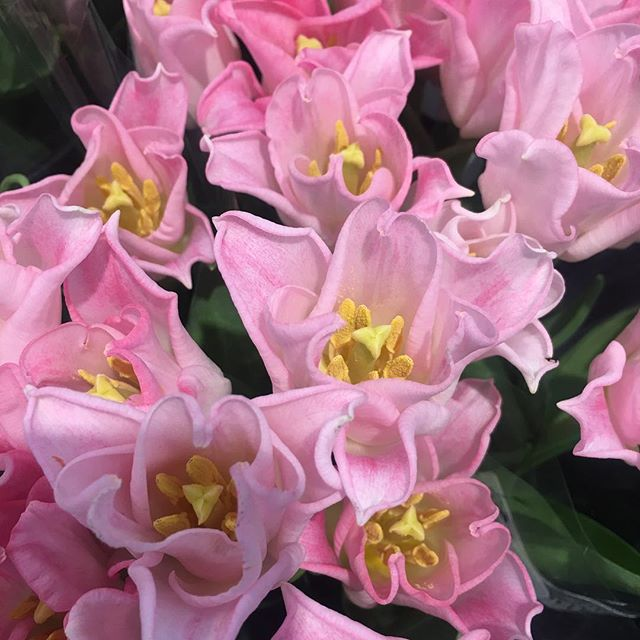 Pink Tulips – a symbol of caring, attachment (not as strong as love, like the red ones) and good wishes.