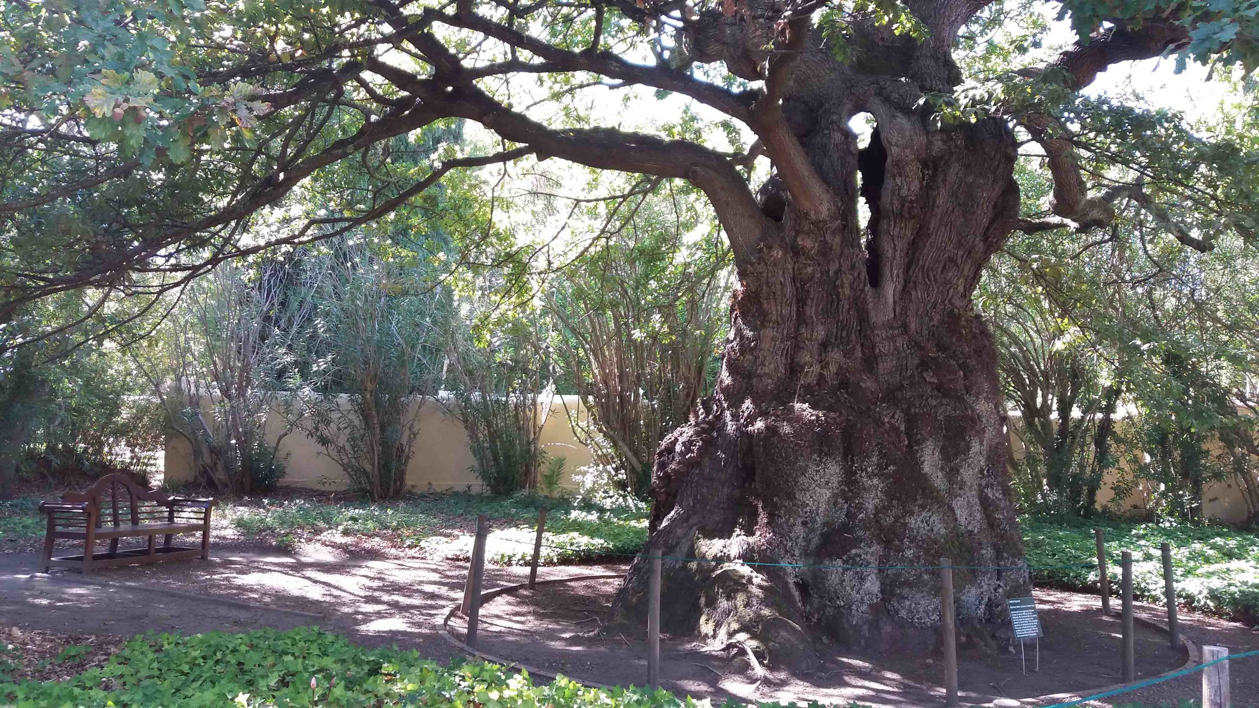 Oldest Oak Tree