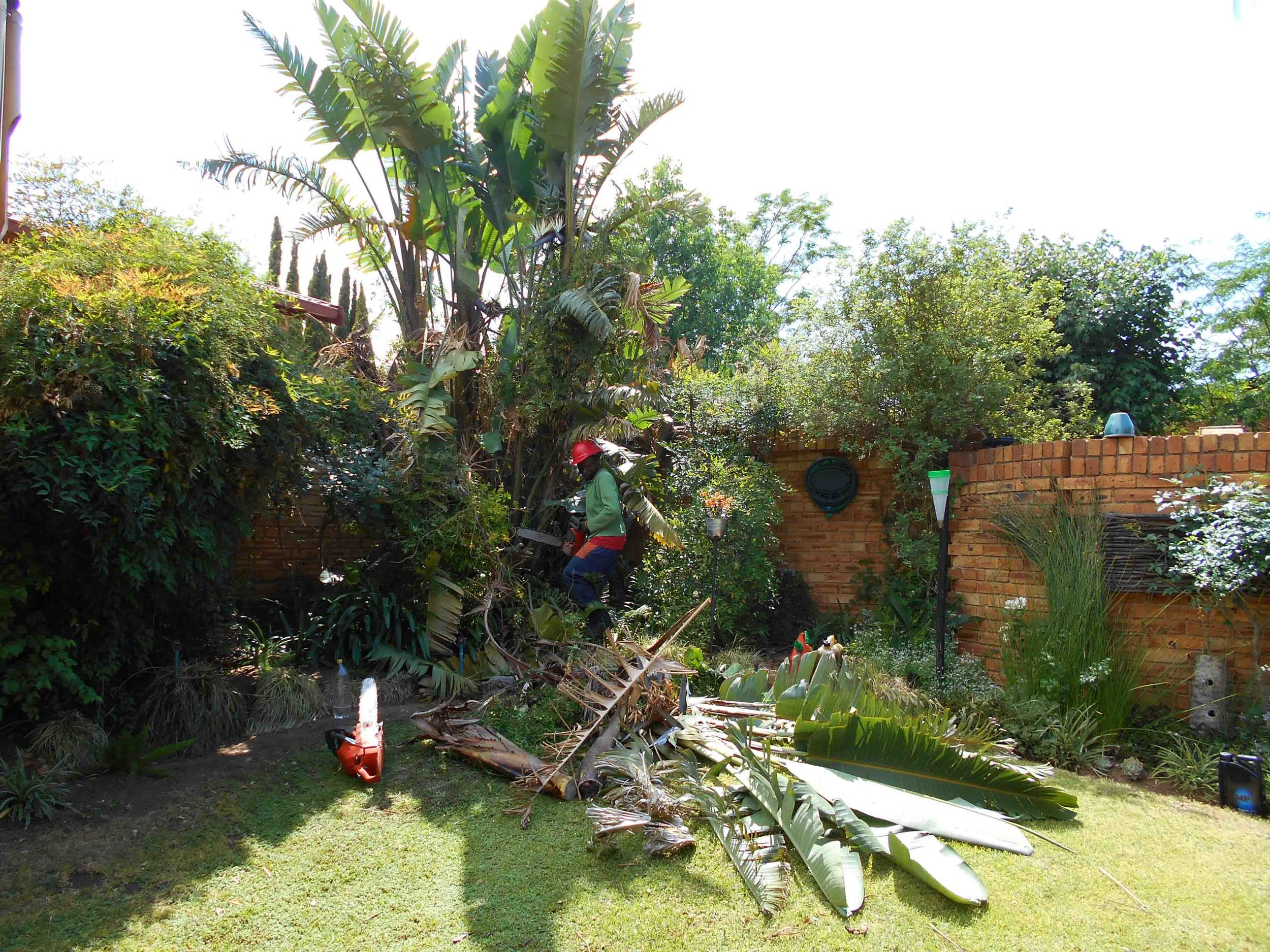 Trimming of Strelitzia nicolai Trees