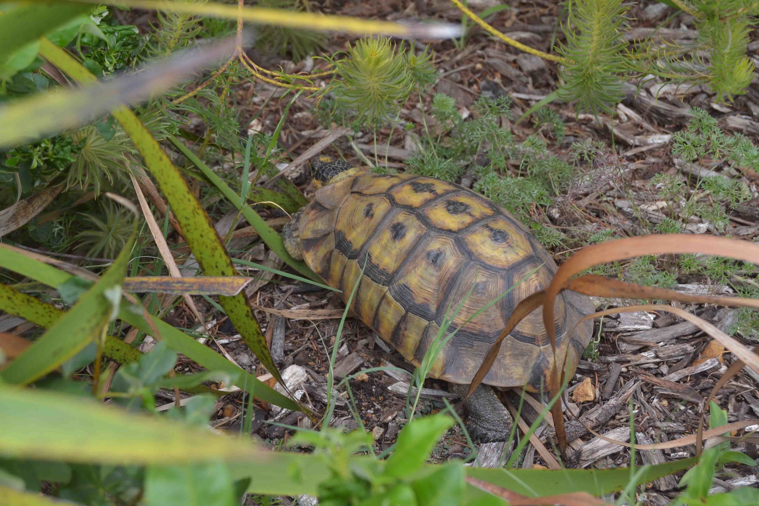 We spotted a tortoise enjoying a stroll in the garden!