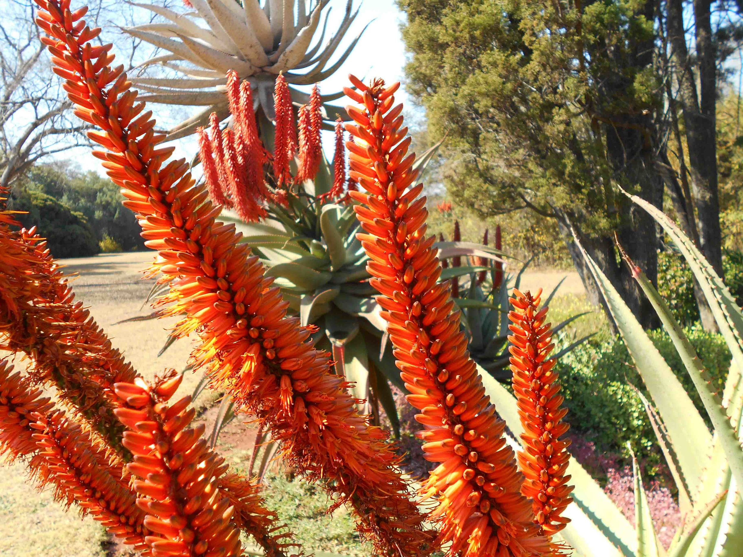 Aloes look striking this time of year! Love watching the sunbirds hop around on them