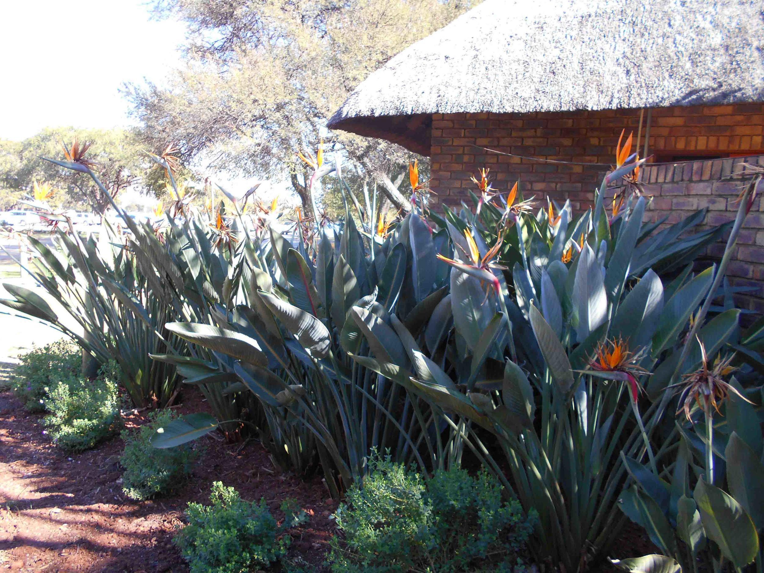 Strelitzia reginae - Crane Flower