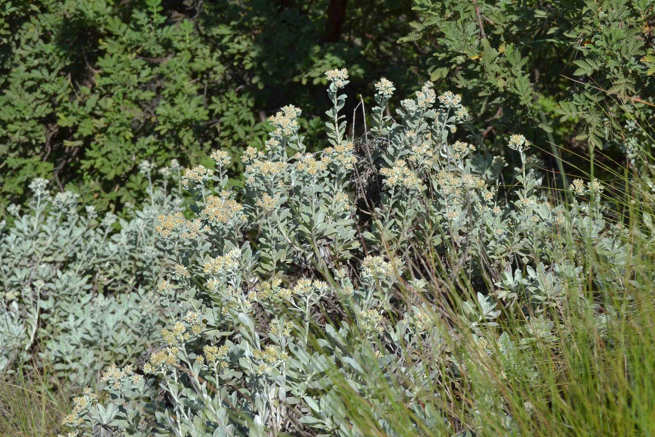 Helichrysum sutherlandii  - look at this wonderful grey foliage